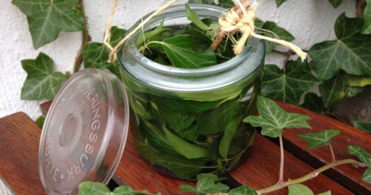 Vintergröna murgröna som hostmedicin och tvättmedel