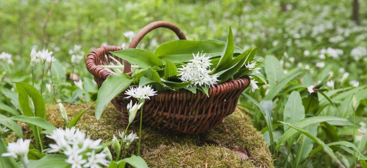 11 tips när du plockar vilda växter i naturen