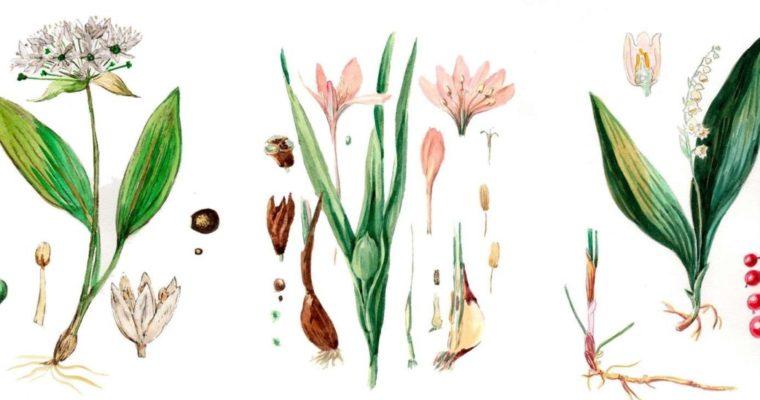 Ramslök, Liljekonvalj, Tidlösa – 3 växter deras blad kan förväxlas