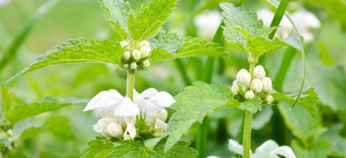 Bi- och medicinalväxten Vitplister öppnar sina gap.