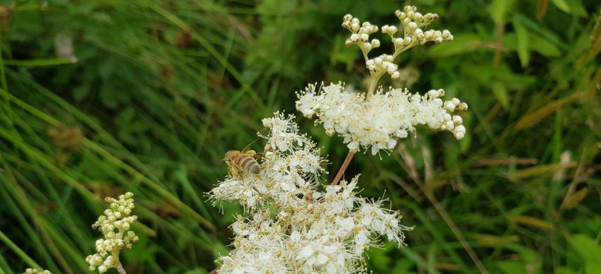 Sommarängens drottning doftar marsipan och honung